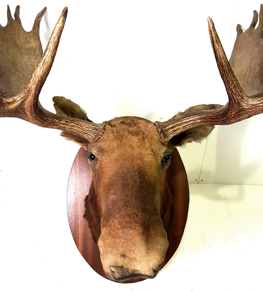 Very Good Quality Stuffed Canadian Moose (Large)
